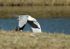 Seagull (Citizen Rob) Tags: texas seagull plano