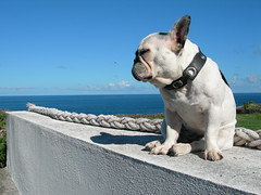 DIDI (*mary gold*) Tags: blue sea dog island frenchie frenchbulldog collar seashore herms aores onetopfav thisisportugal cdcjune06 theinterestingest