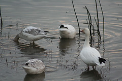 IMG_7631.jpg (wildorcaimages) Tags: snowgeese birds blueheron waterbirds