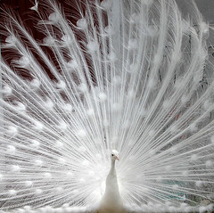 ...Peacock Power... (Random Images from The Heartland) Tags: chris southdakota topf50 topv333 peacock heartland bailey albino whitepeacock topf20 chrisbailey top20favview bail56 randomimagesfromtheheartland chrisbaileyimages
