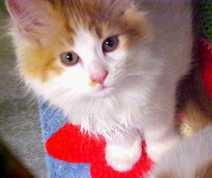 Orange & White Kitty (Pixel Packing Mama) Tags: cute tag3 taggedout adorable letsplaytagyoureit loveit whiskers mycats aww taggedoutandproudofit photographicart catsandkittensset catscatscats ilovemycat furryfriday corvallisoregon nuggets allanimals cutekittens exclamationpoints 15favourites heartlandhumanesociety whiteandgingercats beautuful familyfurrythingsorboth pixelpackingmama meowscollector taggedoutthegraduatesofletsplaytag dorothydelinaporter taggedoutandproudofitset worldsfavorite mavicafanclub whiteandorangecats beautifuluniverse catcentury favoritedpixset mostinterestingaccordingtoflickralgorithmset spcacatspool cc2400 cat2400 exclamationpointspool pixwithexclamationpointsincommentsset theredmakesitwithoutdominatingpool views1000andupdomesticcatsonlypool catcatscatzpool siamesecatsandtheirfelinebrotherspool uploadedtoflickr2005set views20002500pool exclamationpointsincommentsset 2000viewspool buffcreamcreamsicleorangetabbytanbeigegingercatsset painterlycatsset pixelpackingmama~prayforkyronhorman oversixmillionaggregateviews over430000photostreamviews