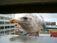 Visitor (Sean McCann (ibycter.com)) Tags: seagulls canada bird window birds animal animals bc britishcolumbia seagull aves victoria pop vancouverisland curious favourite 123hallofame