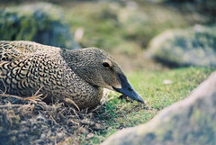 King Eider (Somateria spectabilis) on nest (A. Lusignan) Tags: canada bird animal duck nest wildlife arctic nunavut kingeider eider somateriaspectabilis spectacularbirdsofalaskacanadaandnorthamerica avianexcellence karraklake