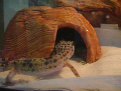 He sure got skinny (Red~Hope) Tags: bumble reptiles leopardgecko january06
