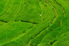 hijau (Farl) Tags: bukit jambul rice terraces karengasem green colors culture tradition bali indonesia tiers gutentag