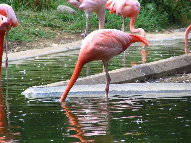 Flamingo pretends to be an Ostrich