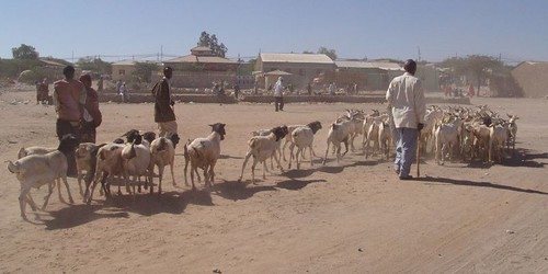 Goats and sheep off into the sand