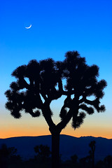 Joshua Tree and the New Moon (olvwu | ) Tags: california ca usa losangeles interestingness desert joshuatree top20moonshots 500views top20 joshuatreenationalpark desertplant jungpangwu oliverwu oliverjpwu flickrexplore 10favs 20favs 30favs interestingness100 explored mojaveandcoloradodesertbiospherereserve flickrexploretop100 40favs olvwu jungpang