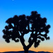Joshua Tree and the New Moon