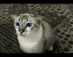 (fbio.marim) Tags: blue pet animal sepia cat cutout poser eyes fuji close shot screen s5100 gato felino