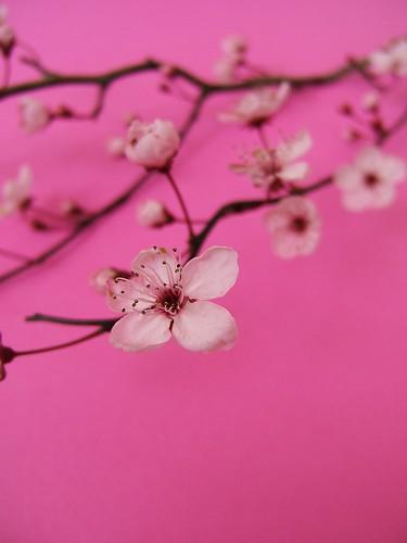 フリー画像| 花/フラワー| 桜/サクラ| 桃色/ピンク| ピンク/花|       フリー素材|