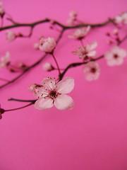 [フリー画像] [花/フラワー] [桜/サクラ] [桃色/ピンク] [ピンク/花]       [フリー素材]