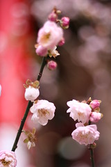 Plum Blossoms (eyes1997) Tags: flowers temple taiwan taichung plumblossoms wenwutemple