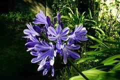 Agapanthus (betadecay2000) Tags: blue plant flower macro green lens sommer natur pflanze pflanzen bloom grn blau agapanthus blume makro lilie bloem blten objektiv schmucklilie makroobjektiv kbelpflanze
