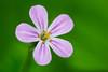 Macro Cranesbill (AmbitiousJam) Tags: flower macro green floral floralappreciation canon70d