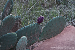"Prickly Pear Cactus • <a style=""font-size:0.8em;"" href=""http://www.flickr.com/photos/63501323@N07/18239886488/"" target=""_blank"">View on Flickr</a>"