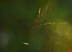 Web In the Wind (HorsePunchKid) Tags: animalia arthropoda arachnida araneae thehighline araneidae taxonomy:kingdom=animalia taxonomy:class=arachnida taxonomy:order=araneae taxonomy:family=araneidae taxonomy:phylum=arthropoda falconeflyover taxonomy:common=orbweavers taxonomy:eolid=8819