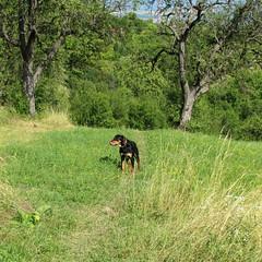 Frakk (debreczeniemoke) Tags: summer dog tree grass meadow kutya fa nyár frakk fű rét transylvanianhound erdélyikopó canonpowershotsx20is transylvanianbloodhound