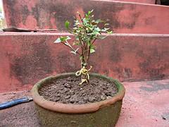 Mix de Jabuticaba Goiaba Mixirica (7) (jemaambiental) Tags: mamadeira jabuticaba bonsais goiaba mixirica prébonsais bonsaístas preparaçãodebonsais mixdeespécies