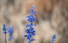 Last of the Lavender (Orbmiser) Tags: flowers summer oregon portland nikon purple lavender d90 55200vr