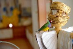 DSC_7710 (Jenny Yang) Tags: pet bird lady finch gouldian