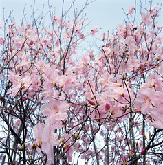 Detail of a cherry tree --- Image by © Royalty-Free/Corbis (MODELLEUS2) Tags: pink flowers trees plants japanese branch asians nobody celebration daytime blossoming closeupview eastasians
