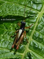 Grasshopper (Syntomacris sp.) (LPJC) Tags: ecuador grasshopper 2014 sanisidro lpjc syntomacris