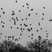 Starlings in Flight [342/366]