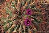 Ferocactus latispinus (l.e.violett) Tags: cactus flowers cultivated ferocactus latispinus arizona pse
