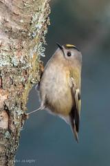 Goldcrest (Linda Martin Photography) Tags: regulusregulus dorset ferndowncommon goldcrest wildlife birds uk nature coth