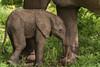 Baby elephant (johannekekroesbergen) Tags: africa zambia trackandtrailrivercamp southluangwa afrika baby elephant safari nature