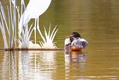 Goosander (m) (Jeannie Debs) Tags: goosander bird wildlife lake water outdoor bright green orange diving duck preening beak explore
