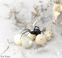 Redback [Explored] (WinRuWorld) Tags: redbackspider latrodectushasseltii spider arachnids invertebrates spidersofaustralia eggsac blackspider inexplore