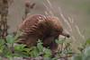 Echidna (Byron Taylor) Tags: echidna blackcurrawong currawong levonscanyon canyon canon canon7d wildlife nature australia australiasia tasmania mammals