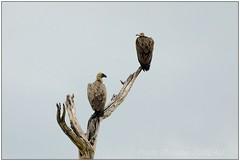 _DSC5583PJ_resultat (http://phj.bookfoto.com/) Tags: botswana philippe jubeau afrique delta okavango vautour