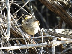 White-throated Sparrow - Los Liones Cyn. (weezerbee9) Tags: