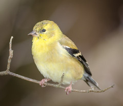Winter Goldfinch (tresed47) Tags: 2016 201612dec 20161208chestercountybirds birds canon7d chestercounty content finch folder goldfinch home pennsylvania peterscamera petersphotos places takenby us ngc npc