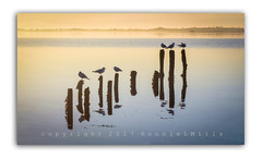 Seagulls at Islandhill (RonnieLMills) Tags: islandhill rotten jetty posts seagulls sunrise strangford lough early morning textured