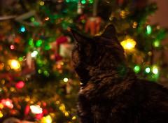 Ella Loves Christmas (Explore) (Katrina Wright) Tags: dsc0072 ella christmas bokeh tree cat tortie