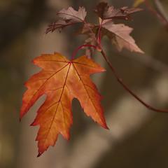 Souvenir d'automne **---+°-° (Titole) Tags: squareformat leaf autumn titole nicolefaton friendlychallenges challengeyouwinner 15challengeswinner thechallengefactory