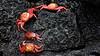 Red rock crab on Galapagos (flowerikka) Tags: galapagos redrockcrab klippenkrabbe coast lava vulcano zayapa grapsusgrapsus karotinoid suncompass