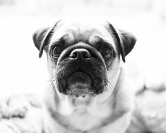 Fred (Martin Schmidt (www.schmaidt.de)) Tags: dog fred hund hunde hundefotografie martin martinschmidt menschen mops nicole nicolerenken onno patrick sarah schmidt tier tiere tierfotografie animal animalphotography dogphotography dogs schmaidt schmaidtde