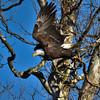 Taking Flight (MJMPhoto II) Tags: americanbaldeagle indiana eagle mississinewa