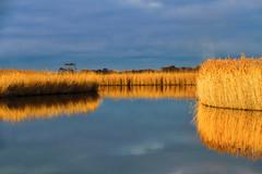 Norfolk Reeds (C.G.Photos) Tags: norfolkbroads reeds landscapes marshes eastanglia england