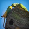 Parakeet Romance (paulinuk99999 - tripods are for wimps :)) Tags: paulinuk99999 roseringed parakeet london river thames green bird wildlife psittaculakrameri sal70400g