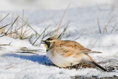 Horned Lark (eating snow) (RKop) Tags: hornedlark d500 200500mmf56edvrzoom voa cincinnati ohio raphaelkopanphotography handheld