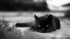 Friday 13 (pecsilinda) Tags: friday 13 friday13 cat black white pet canon eos 600d 50mm