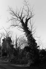 Liguria (fabiolug) Tags: branches branch trunk tree trees nature liguria ligury italia italy leicammonochrom mmonochrom monochrom leicamonochrom leica leicam rangefinder blackandwhite blackwhite bw monochrome biancoenero 35mmsummicronasph 35mmf2summicronasph summicronm35mmf2asph summicron35mmf2asph 35mm summicron leicasummicron leica35mm