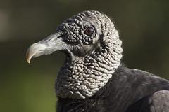 Black Vulture (DFChurch) Tags: crew corkscrew bird rookery swamp trail nature animal wild wildlife naples florida feather black vulture coragypsatratus