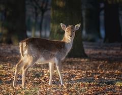 Fallow Deer (lyndaha) Tags: dunhammassey deerpark fallowdeer dunham